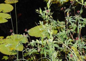 Sumpfblutauge (Potentilla palustris)